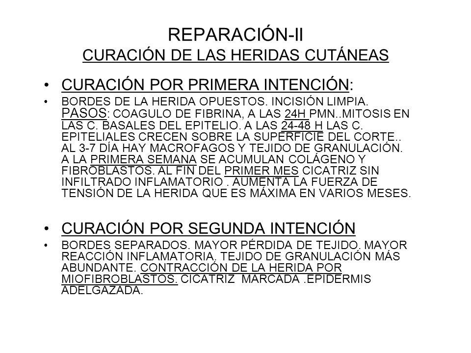 REPARACIÓN-II CURACIÓN DE LAS HERIDAS CUTÁNEAS CURACIÓN POR PRIMERA INTENCIÓN: BORDES DE LA HERIDA OPUESTOS. INCISIÓN LIMPIA. PASOS : COAGULO DE FIBRI