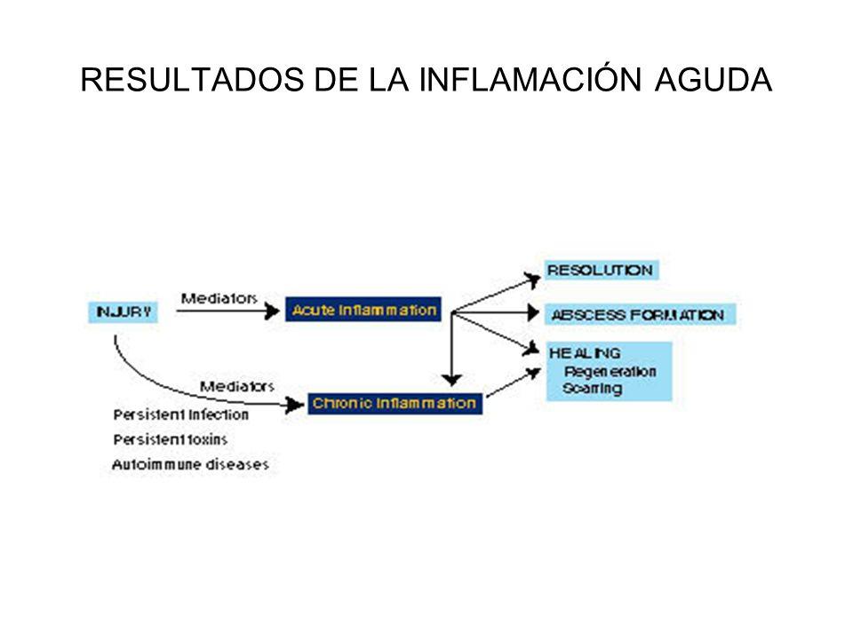 RESULTADOS DE LA INFLAMACION AGUDA 1.- RESOLUCION COMPLETA : IMPLICA LA NEUTRALIZACIÓN COMPLETA E ELIMINACIÓN ESPONTÁNEA DE LOS MEDIADORES QUÍMICOS CON LA VUELTA A LA PERMEABILIDAD VASCULAR NORMAL, CESE DEL INFILTRADO DE LEUCOCITOS Y ELIMINACIÓN DE DETRITUS, EDEMA, PROTEINAS Y AGENTES EXTRAÑOS DEL FOCO DE INFLAMACIÓN.