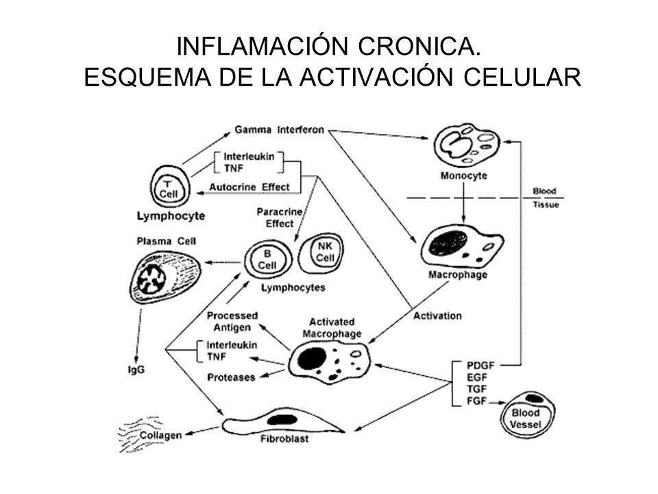 INFLAMACIÓN CRÓNICA-PULMÓN C. INFLAMATORIAS- DESTRUCCIÓN TISULAR- FIBROSIS.