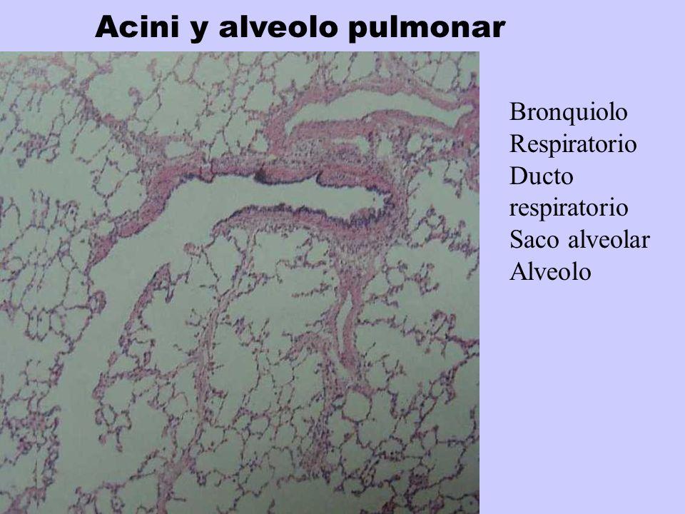 Acini y alveolo pulmonar Bronquiolo Respiratorio Ducto respiratorio Saco alveolar Alveolo