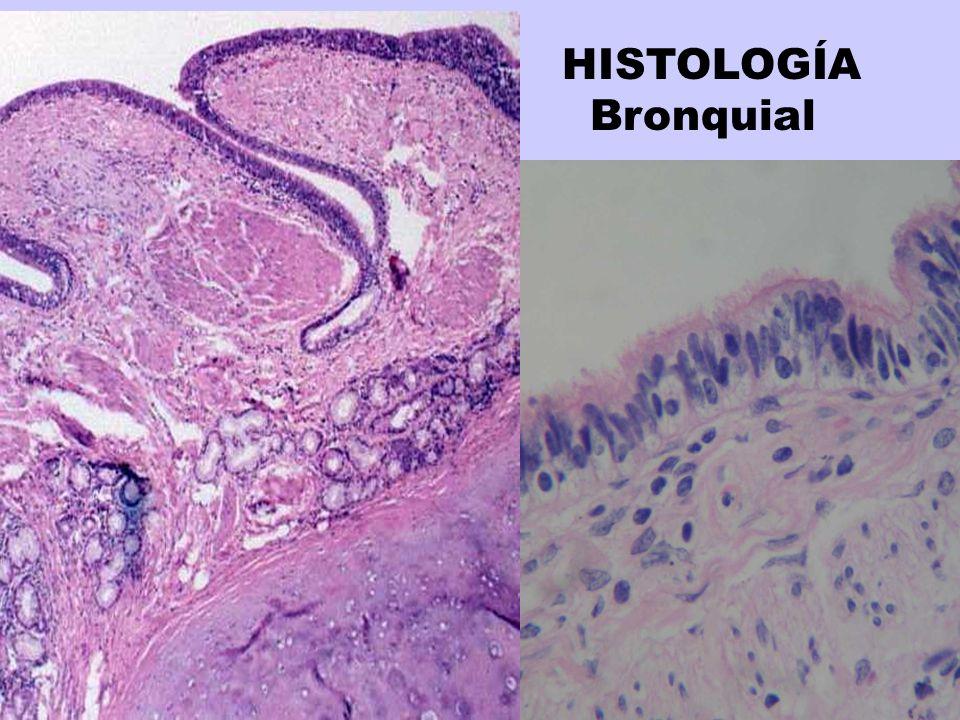HISTOLOGÍA Bronquial