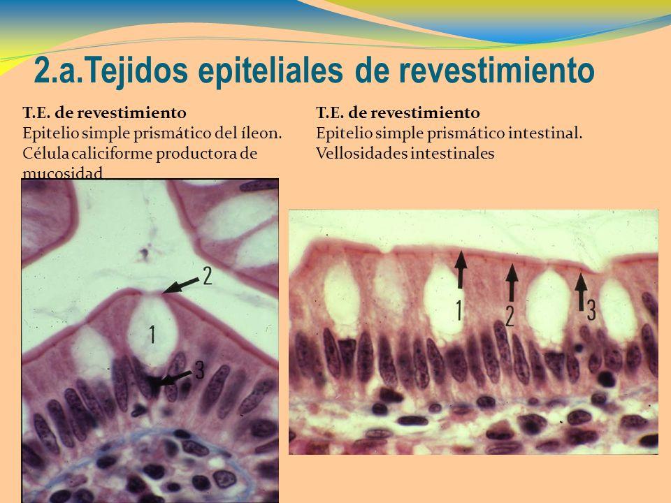 2.a.Tejidos epiteliales de revestimiento T.E. de revestimiento Epitelio simple prismático del íleon. Célula caliciforme productora de mucosidad T.E. d