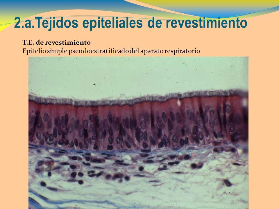 2.a.Tejidos epiteliales de revestimiento T.E. de revestimiento Epitelio simple pseudoestratificado del aparato respiratorio