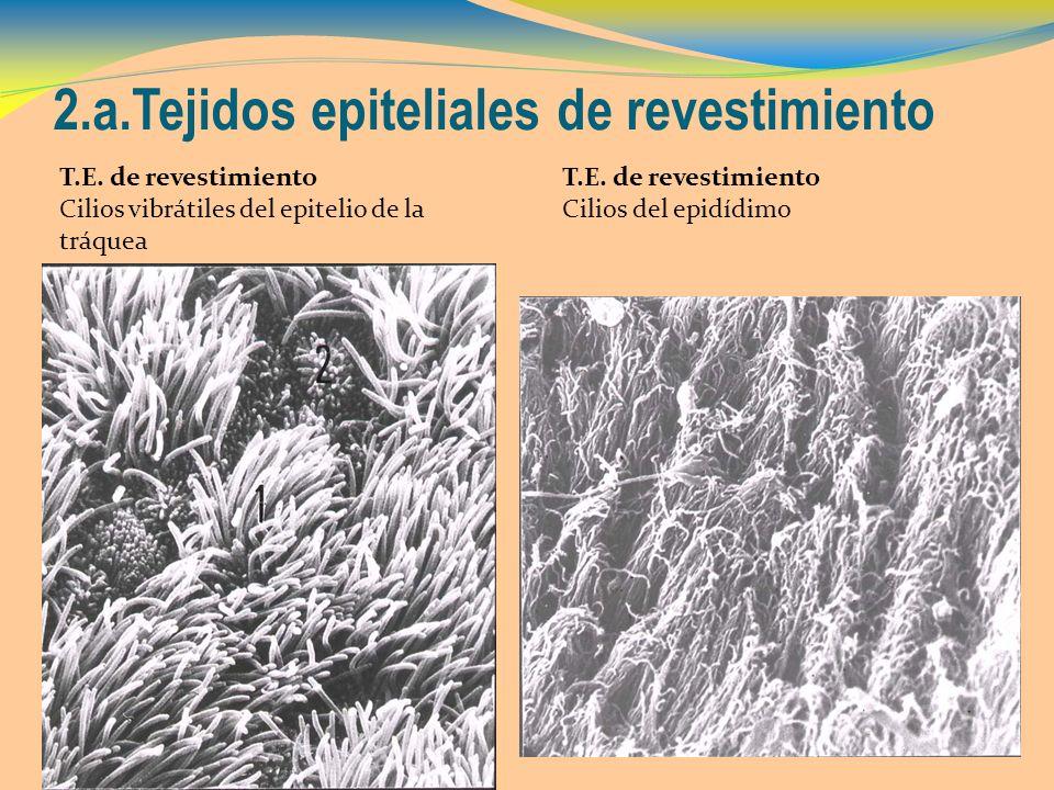 2.a.Tejidos epiteliales de revestimiento T.E. de revestimiento Cilios vibrátiles del epitelio de la tráquea T.E. de revestimiento Cilios del epidídimo