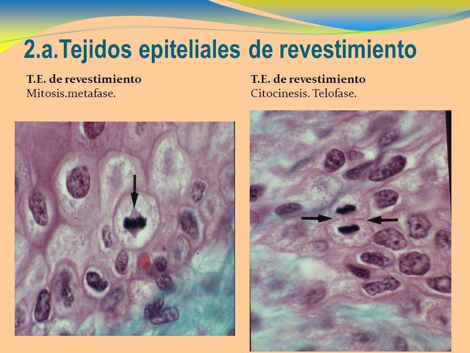 2.a.Tejidos epiteliales de revestimiento T.E. de revestimiento Mitosis.metafase. T.E. de revestimiento Citocinesis. Telofase.