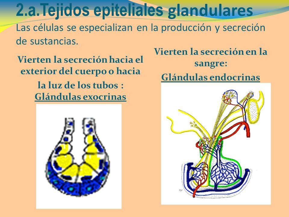 2.a.Tejidos epiteliales glandulares Las células se especializan en la producción y secreción de sustancias. Vierten la secreción hacia el exterior del