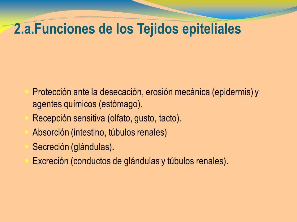 2.a.Funciones de los Tejidos epiteliales Protección ante la desecación, erosión mecánica (epidermis) y agentes químicos (estómago). Recepción sensitiv