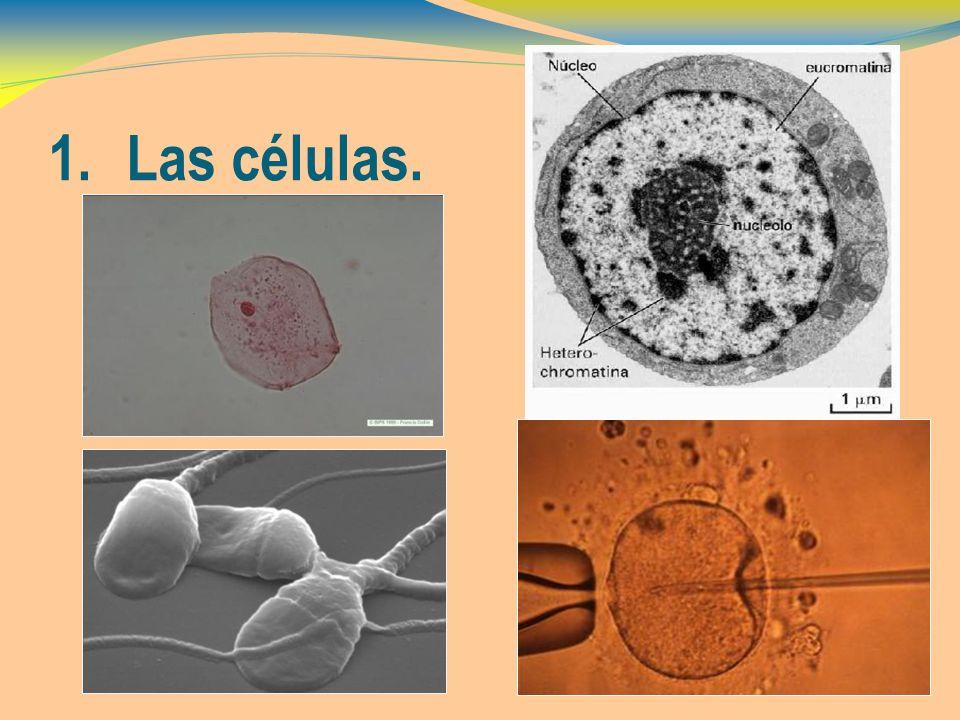 1.Las células.