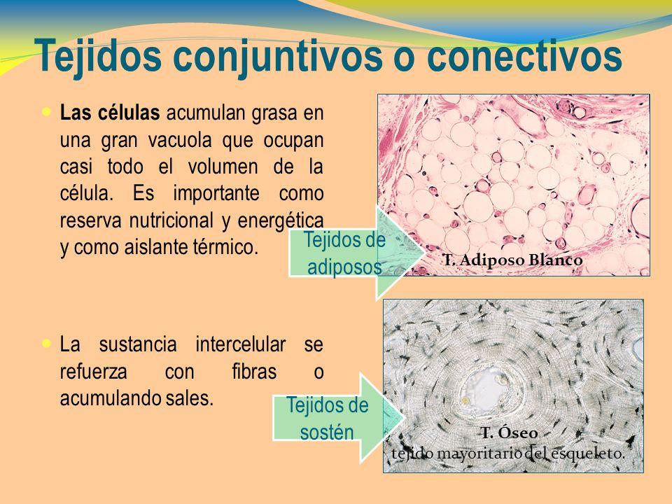 Tejidos conjuntivos o conectivos Las células acumulan grasa en una gran vacuola que ocupan casi todo el volumen de la célula. Es importante como reser