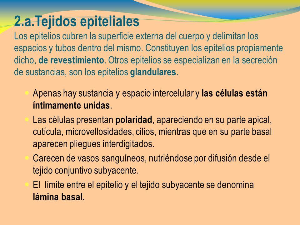 2.a.Tejidos epiteliales glandulares T.E.glandulares glándula salivar exocrina 3..
