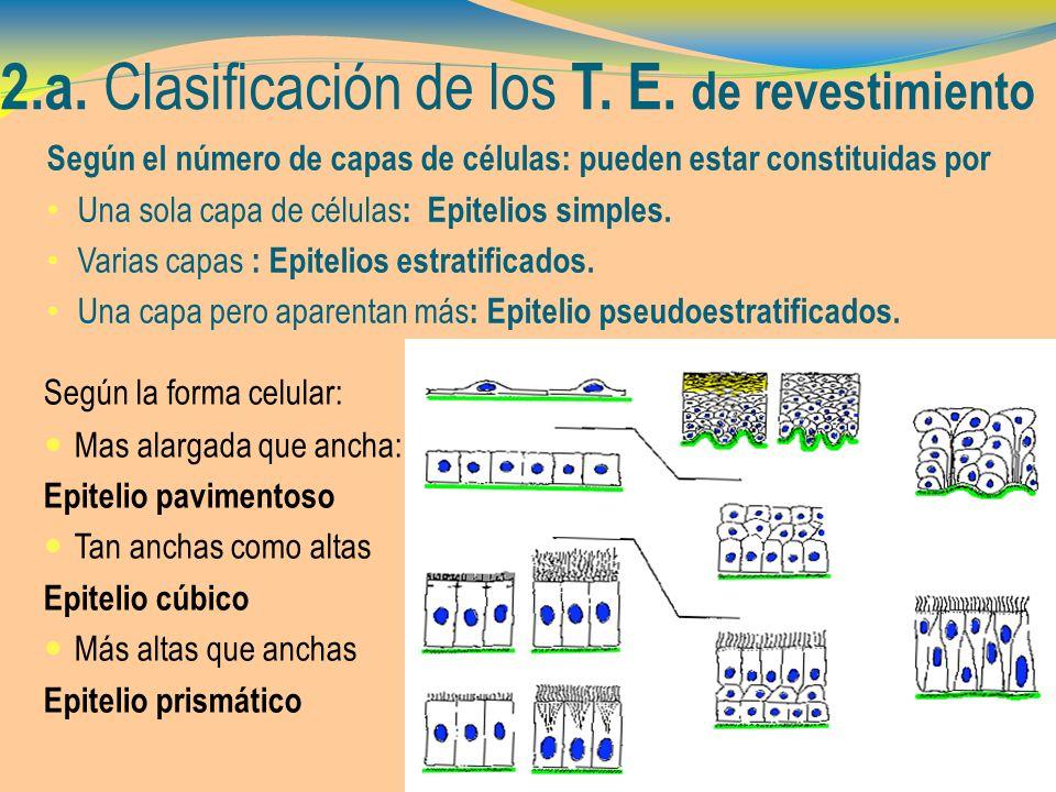 2.a. Clasificación de los T. E. de revestimiento Según el número de capas de células: pueden estar constituidas por Una sola capa de células : Epiteli