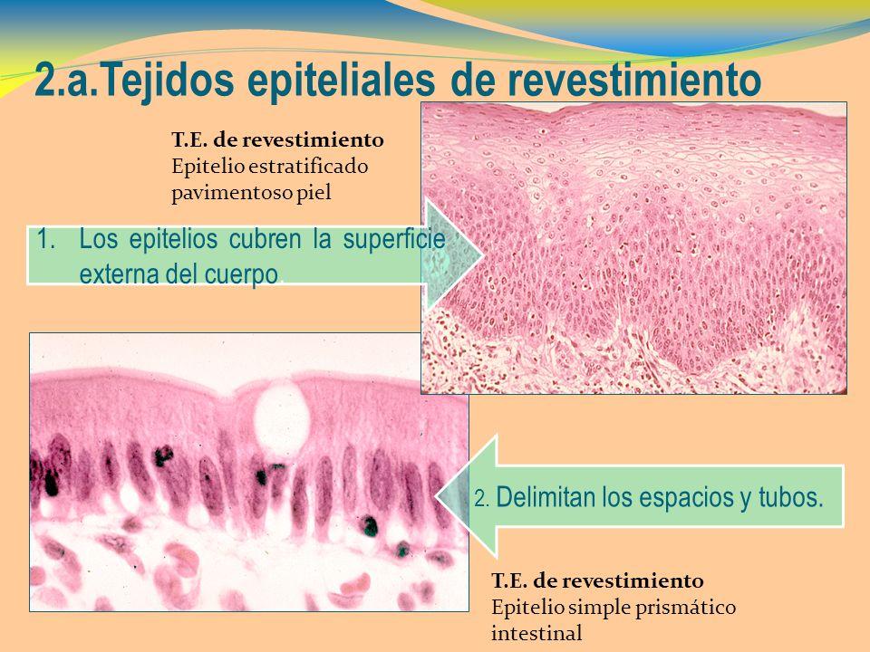 2.a.Tejidos epiteliales de revestimiento T.E. de revestimiento Epitelio simple prismático intestinal T.E. de revestimiento Epitelio estratificado pavi