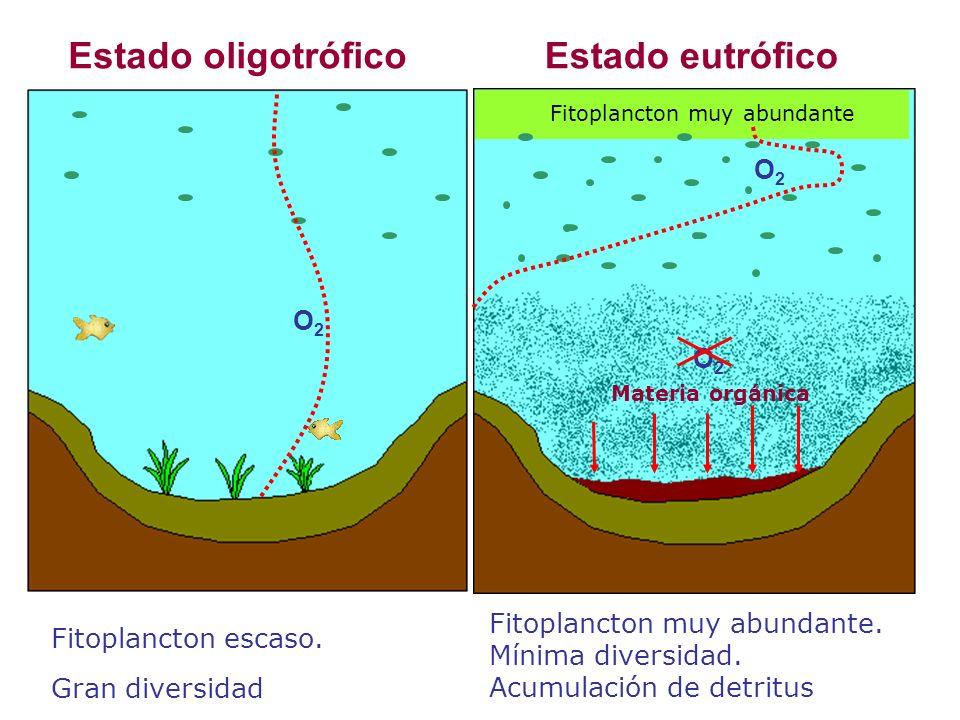 O2O2 O2O2 O2O2 Fitoplancton muy abundante Materia orgánica Estado oligotróficoEstado eutrófico Fitoplancton escaso.