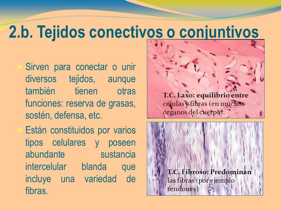 2.b. Tejidos conectivos o conjuntivos Sirven para conectar o unir diversos tejidos, aunque también tienen otras funciones: reserva de grasas, sostén,