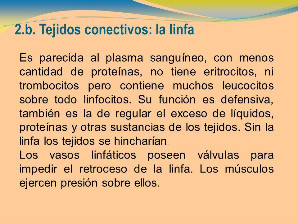 2.b. Tejidos conectivos: la linfa Es parecida al plasma sanguíneo, con menos cantidad de proteínas, no tiene eritrocitos, ni trombocitos pero contiene