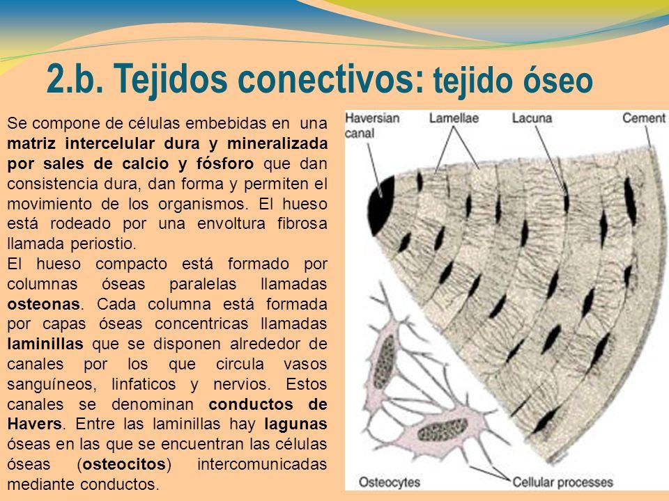 2.b. Tejidos conectivos: tejido óseo Se compone de células embebidas en una matriz intercelular dura y mineralizada por sales de calcio y fósforo que