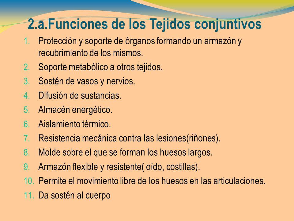 2.a.Funciones de los Tejidos conjuntivos 1. Protección y soporte de órganos formando un armazón y recubrimiento de los mismos. 2. Soporte metabólico a