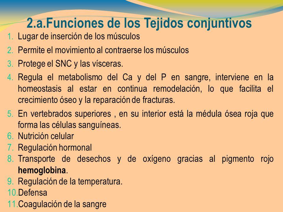 2.a.Funciones de los Tejidos conjuntivos 1. Lugar de inserción de los músculos 2. Permite el movimiento al contraerse los músculos 3. Protege el SNC y