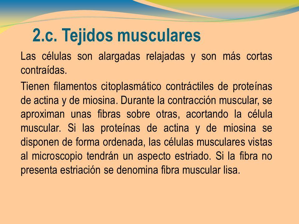 2.c. Tejidos musculares Las células son alargadas relajadas y son más cortas contraídas. Tienen filamentos citoplasmático contráctiles de proteínas de