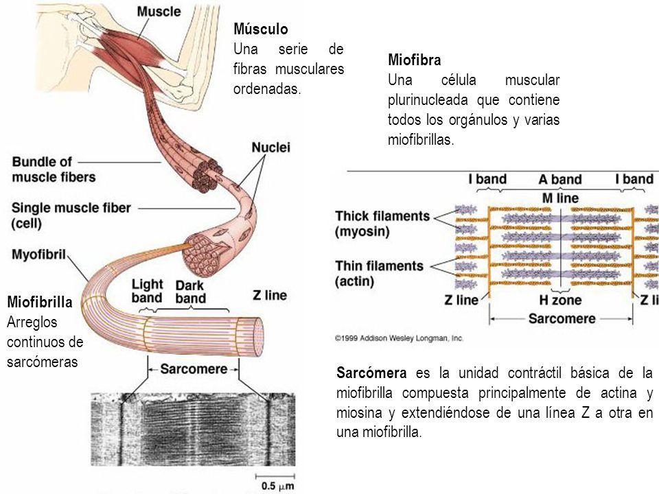 Miofibrilla Arreglos continuos de sarcómeras Músculo Una serie de fibras musculares ordenadas. Miofibra Una célula muscular plurinucleada que contiene