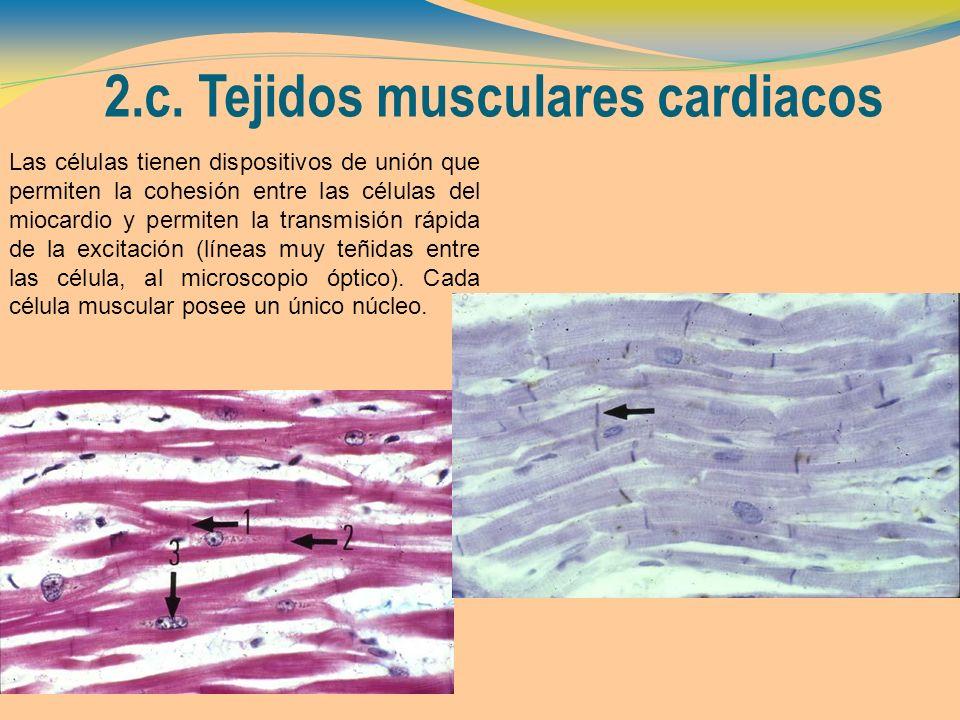 2.c. Tejidos musculares cardiacos Las células tienen dispositivos de unión que permiten la cohesión entre las células del miocardio y permiten la tran