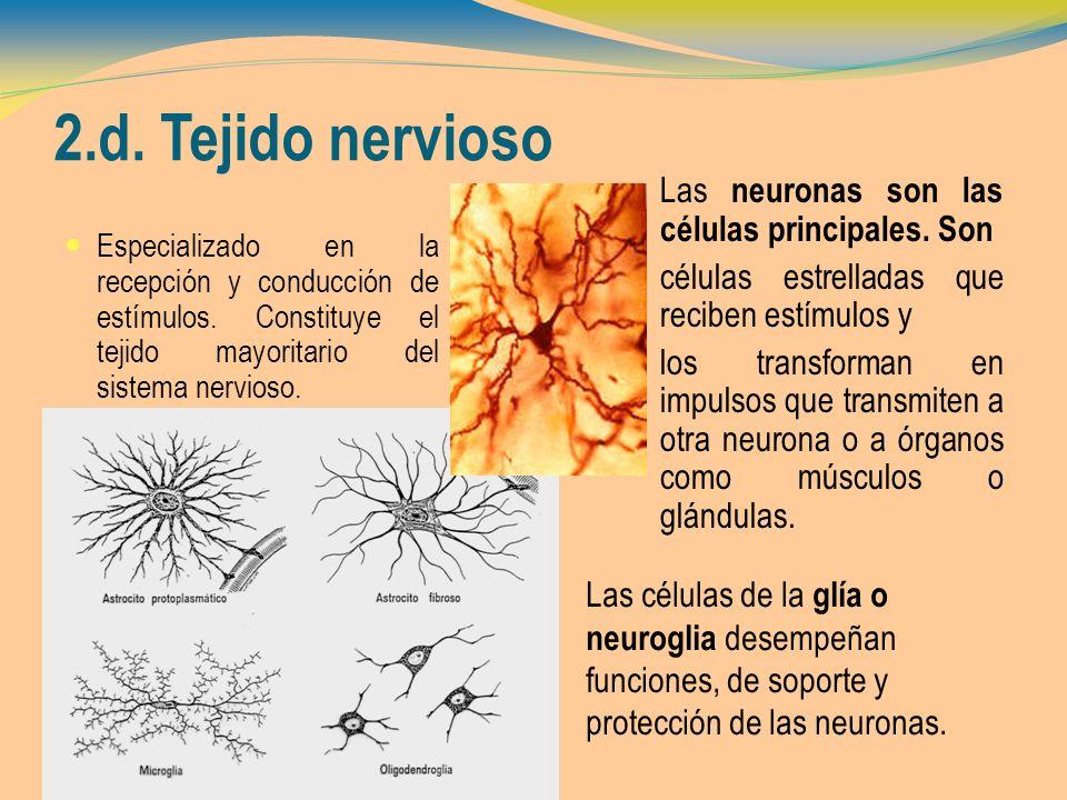 2.d. Tejido nervioso Especializado en la recepción y conducción de estímulos. Constituye el tejido mayoritario del sistema nervioso. Las neuronas son