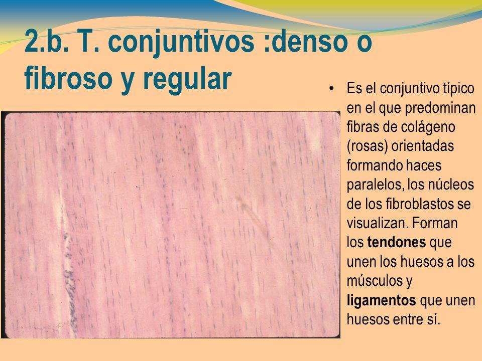 2.b. T. conjuntivos :denso o fibroso y regular Es el conjuntivo típico en el que predominan fibras de colágeno (rosas) orientadas formando haces paral