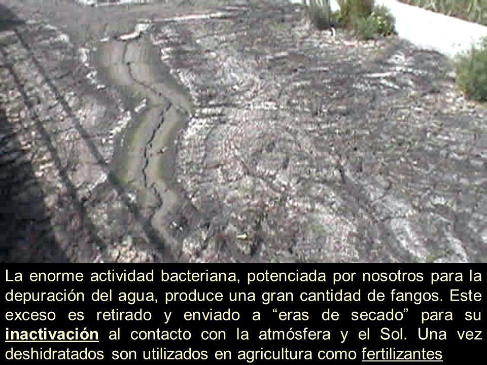La enorme actividad bacteriana, potenciada por nosotros para la depuración del agua, produce una gran cantidad de fangos. Este exceso es retirado y en