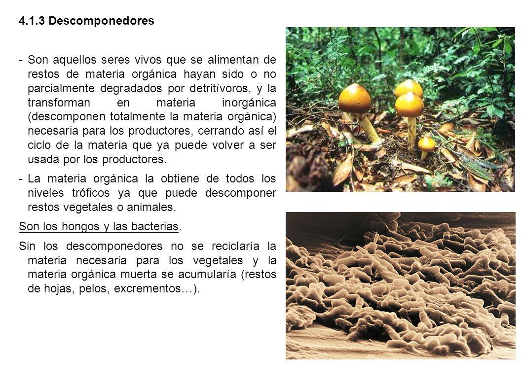 4.1.3 Descomponedores -Son aquellos seres vivos que se alimentan de restos de materia orgánica hayan sido o no parcialmente degradados por detritívoro