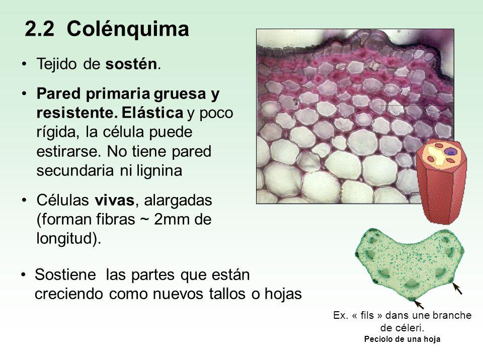 2.2 Colénquima Tejido de sostén. Pared primaria gruesa y resistente. Elástica y poco rígida, la célula puede estirarse. No tiene pared secundaria ni l
