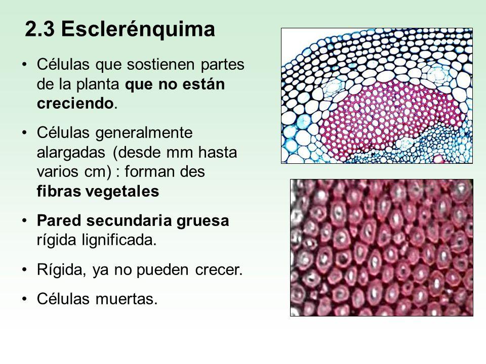 Células que sostienen partes de la planta que no están creciendo. Células generalmente alargadas (desde mm hasta varios cm) : forman des fibras vegeta