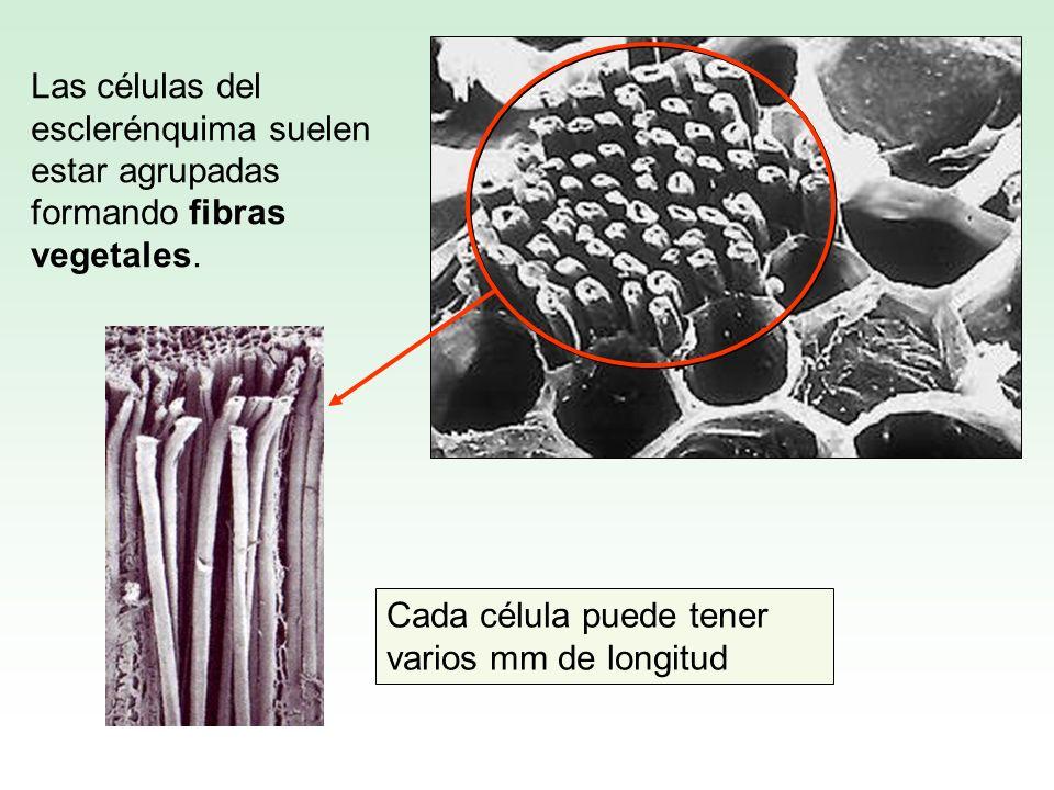Las células del esclerénquima suelen estar agrupadas formando fibras vegetales. Cada célula puede tener varios mm de longitud