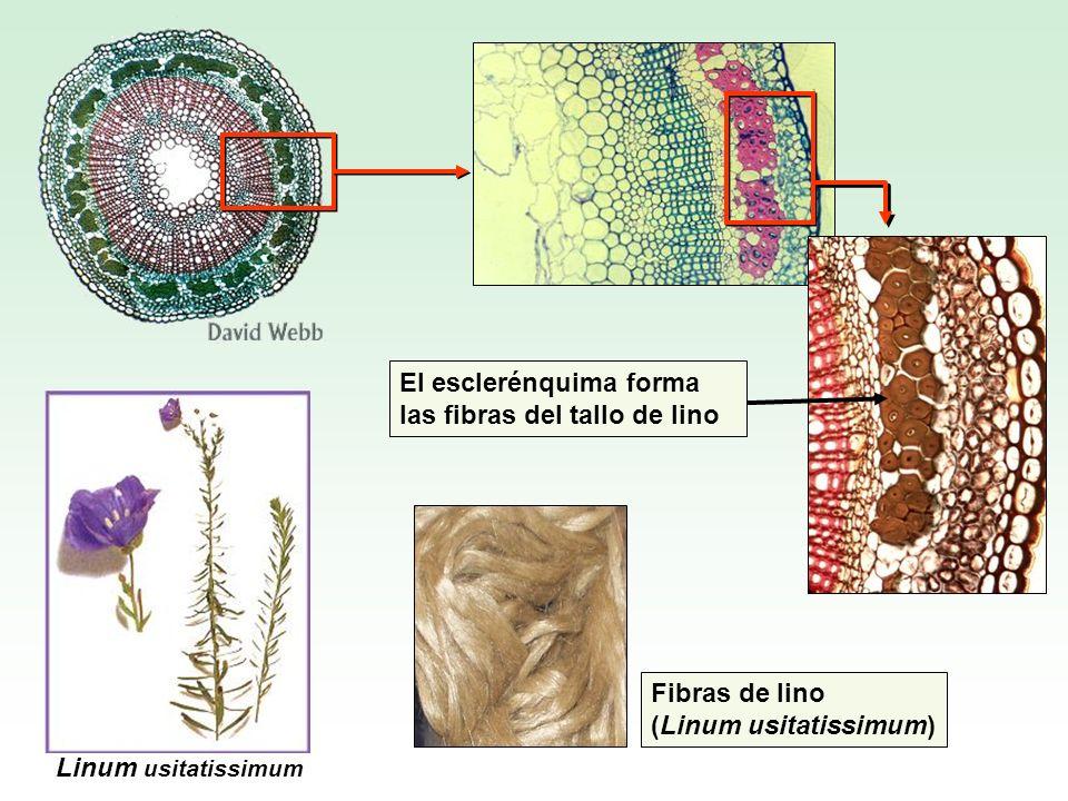 Fibras de lino (Linum usitatissimum) Linum usitatissimum El esclerénquima forma las fibras del tallo de lino