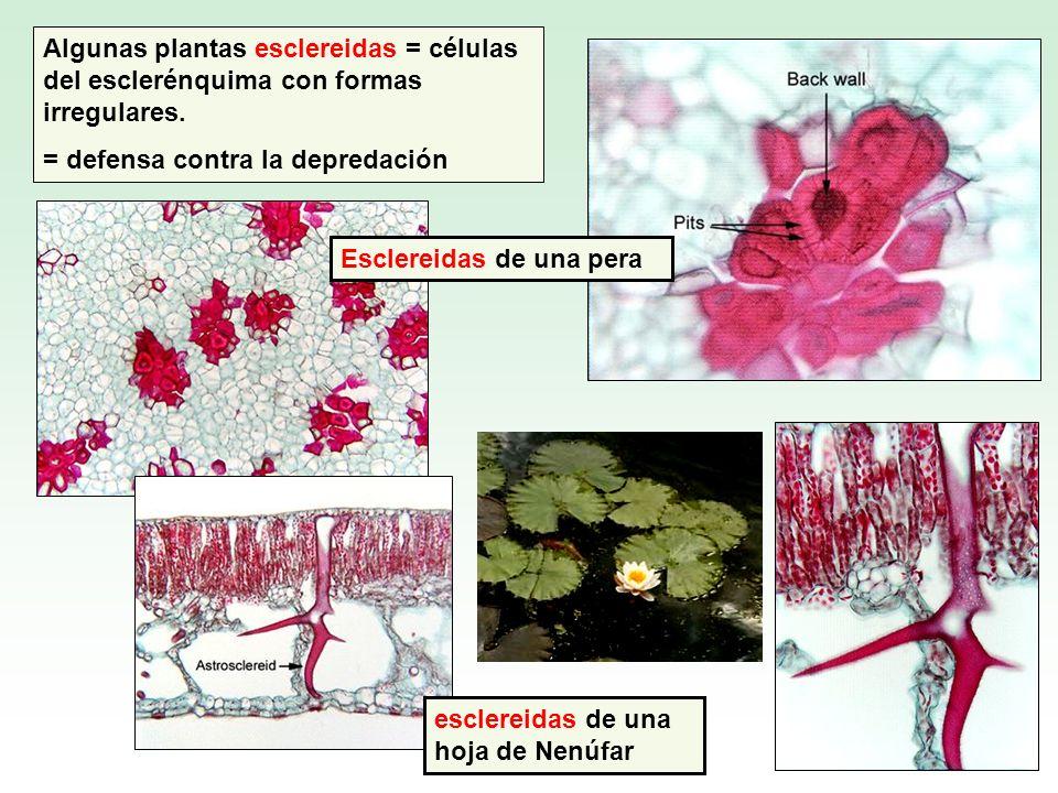 esclereidas de una hoja de Nenúfar Algunas plantas esclereidas = células del esclerénquima con formas irregulares. = defensa contra la depredación Esc