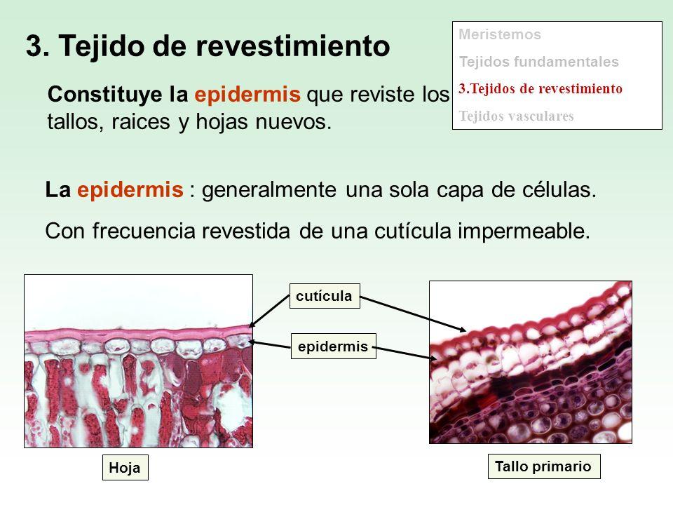 3. Tejido de revestimiento epidermis cutícula Hoja Tallo primario La epidermis : generalmente una sola capa de células. Con frecuencia revestida de un