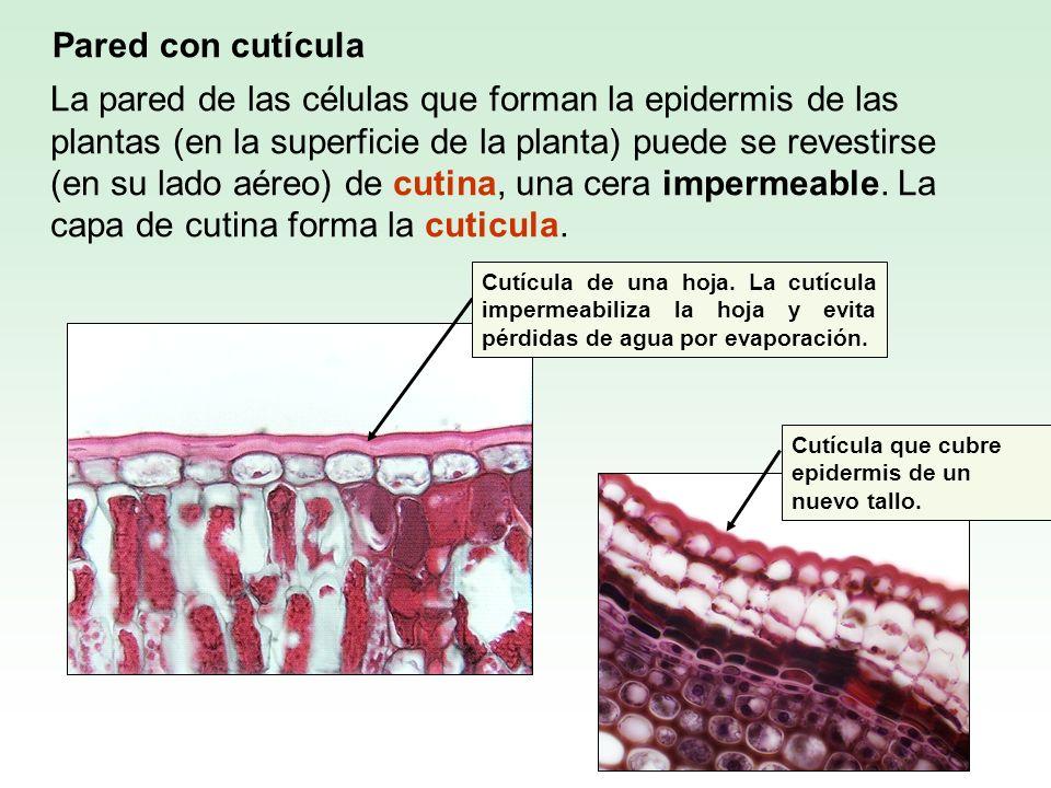 La pared de las células que forman la epidermis de las plantas (en la superficie de la planta) puede se revestirse (en su lado aéreo) de cutina, una c