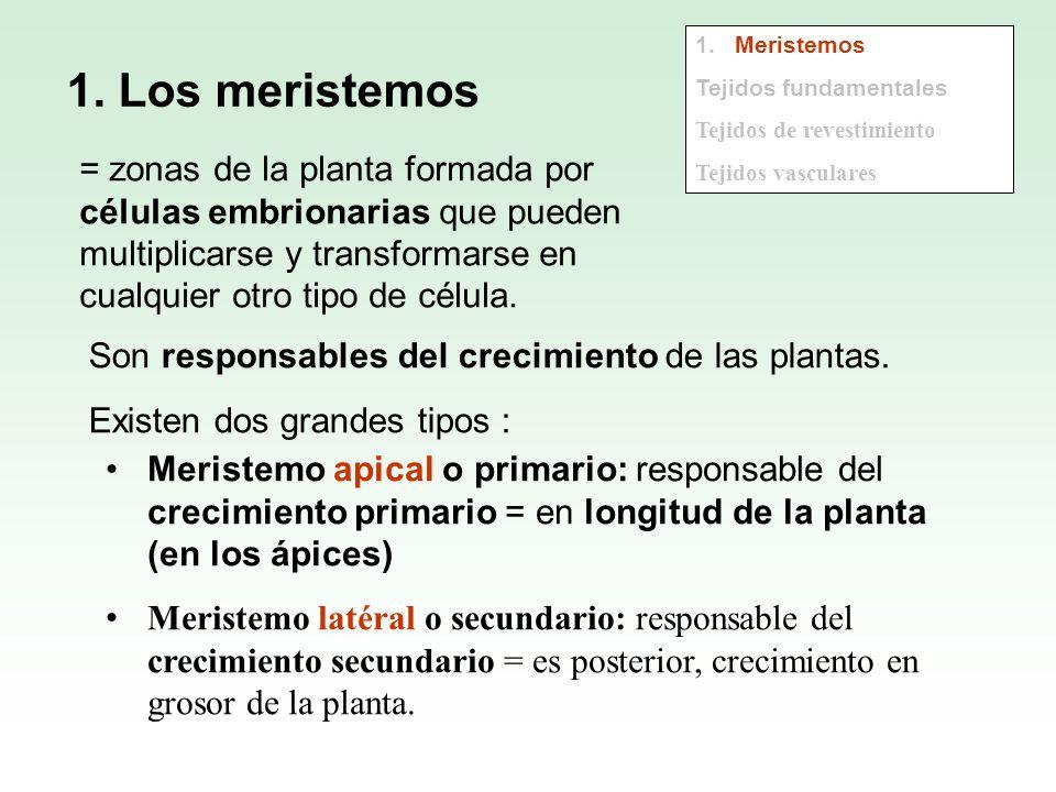 1. Los meristemos = zonas de la planta formada por células embrionarias que pueden multiplicarse y transformarse en cualquier otro tipo de célula. Son