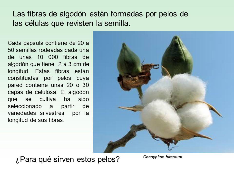 Las fibras de algodón están formadas por pelos de las células que revisten la semilla. ¿Para qué sirven estos pelos? Cada cápsula contiene de 20 a 50