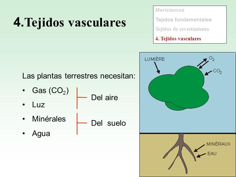 4. Tejidos vasculares Las plantas terrestres necesitan: Gas (CO 2 ) Luz Minérales Agua Del aire Del suelo Meristemos Tejidos fundamentales Tejidos de