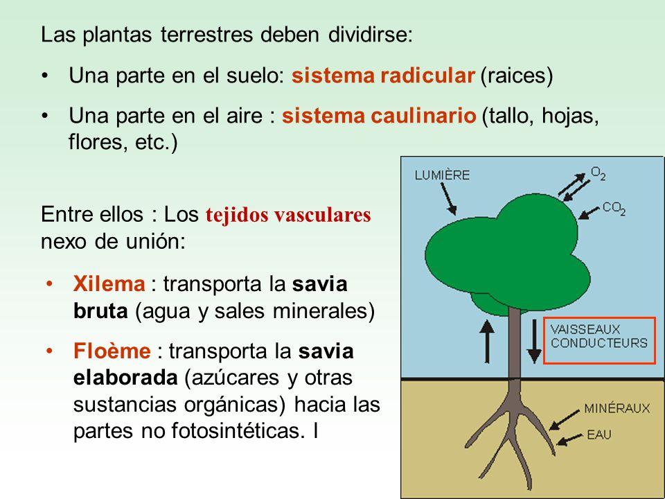 Las plantas terrestres deben dividirse: Una parte en el suelo: sistema radicular (raices) Una parte en el aire : sistema caulinario (tallo, hojas, flo