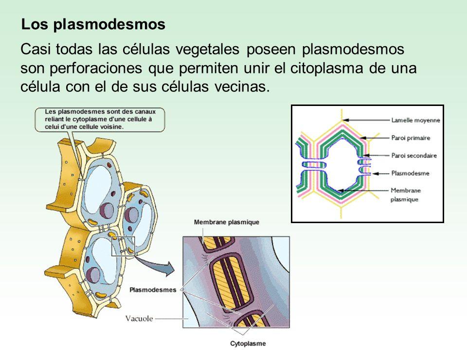Los plasmodesmos Casi todas las células vegetales poseen plasmodesmos son perforaciones que permiten unir el citoplasma de una célula con el de sus cé
