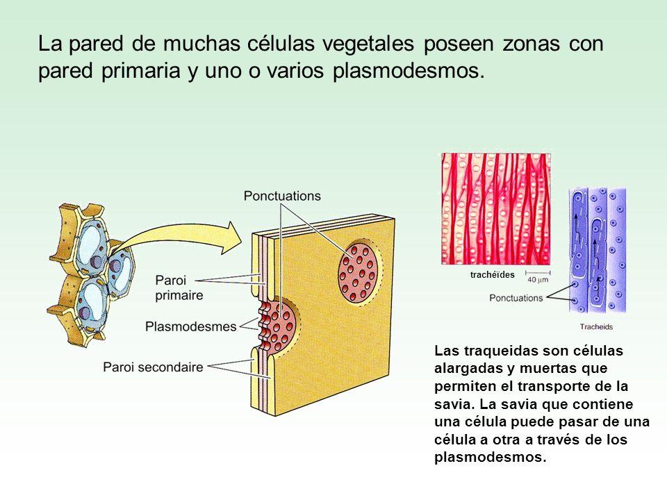 La pared de muchas células vegetales poseen zonas con pared primaria y uno o varios plasmodesmos. Las traqueidas son células alargadas y muertas que p