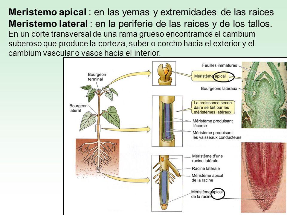 Meristemo apical : en las yemas y extremidades de las raices Meristemo lateral : en la periferie de las raices y de los tallos. En un corte transversa