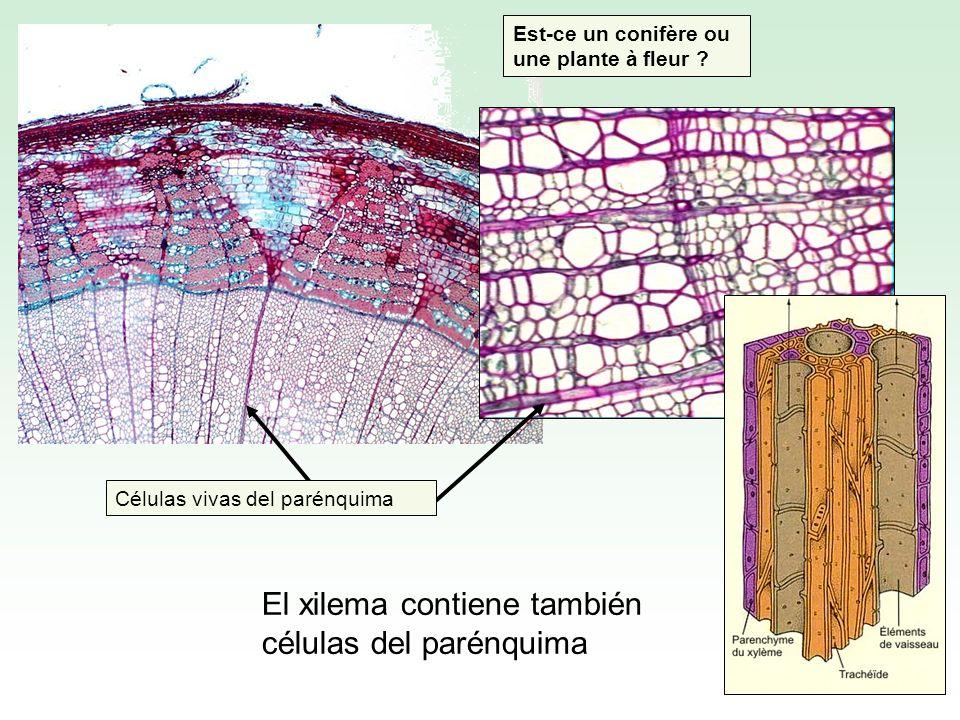El xilema contiene también células del parénquima Células vivas del parénquima Est-ce un conifère ou une plante à fleur ?