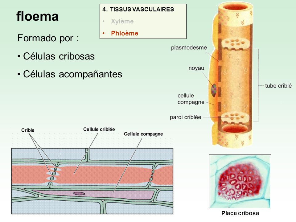 floema Formado por : Células cribosas Células acompañantes Placa cribosa 4. TISSUS VASCULAIRES Xylème Phloème