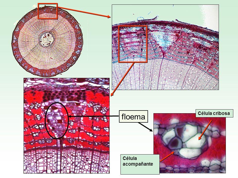 Célula acompañante Célula cribosa floema