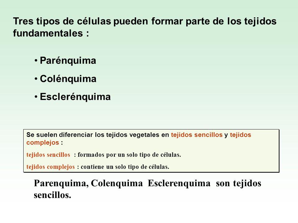 Tres tipos de células pueden formar parte de los tejidos fundamentales : Parénquima Colénquima Esclerénquima Se suelen diferenciar los tejidos vegetal