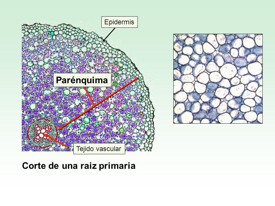 Corte de una raiz primaria Epidermis Tejido vascular Parénquima