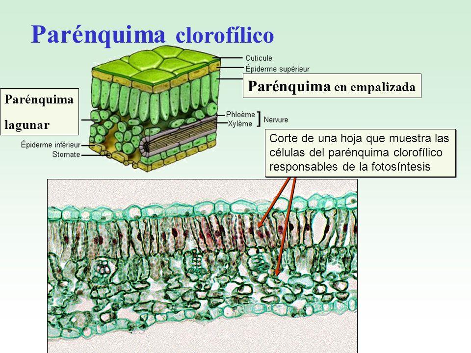 Corte de una hoja que muestra las células del parénquima clorofílico responsables de la fotosíntesis Parénquima en empalizada Parénquima lagunar Parén