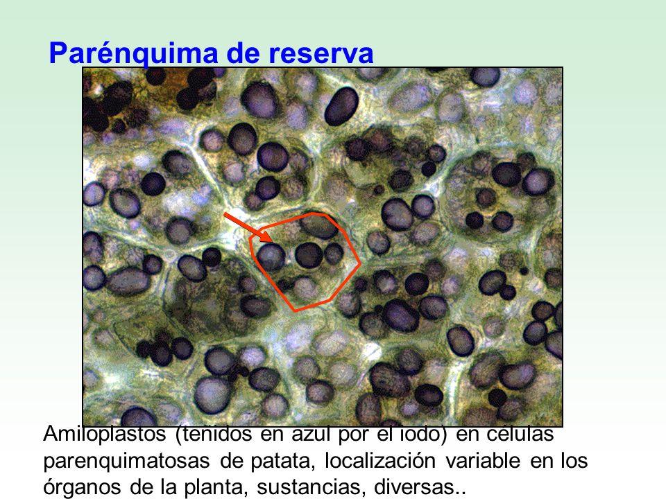 Amiloplastos (teñidos en azul por el iodo) en células parenquimatosas de patata, localización variable en los órganos de la planta, sustancias, divers